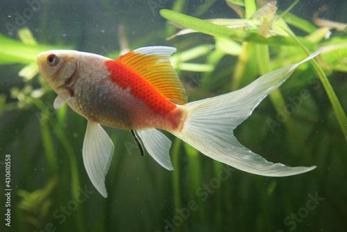 Obraz na plátně saras comet goldfish