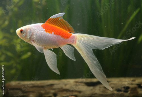 Fotografie, Tablou saras comet goldfish