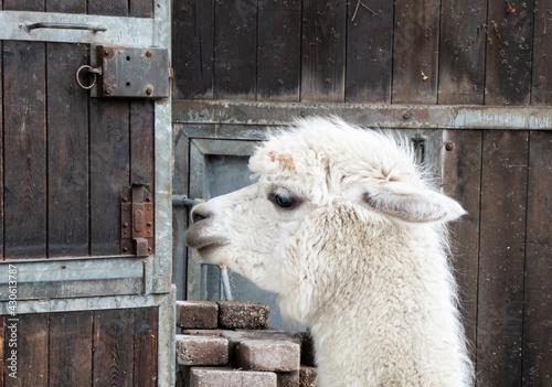 Fototapeta premium Alpaka im Freigehege