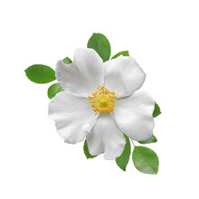 White Wild Rose Flower With Raindrops On Petals With Leaves Isolated On White Background. Floral Design Element.