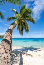 Coconut Tree At The Beach, Bora Bora, French Polynesia