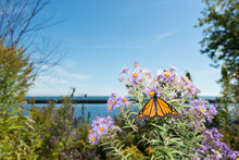 Monarch Butterfly Pauses To Feed On Symphyotrichum Novi-belgii Or New York Aster Near A Lakefront
