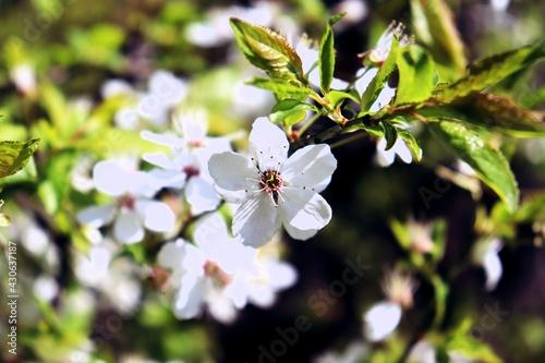 wiosenny biały kwiatek - fototapety na wymiar