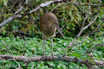 Juvenile Bare-throated tiger heron (Tigrisoma mexicanum) fishing in Tortuguero National Park in Costa Rica