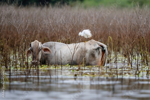 Cow feeding in the water of Cano Negro National Park in Costa Rica with a snowy egret on his back
