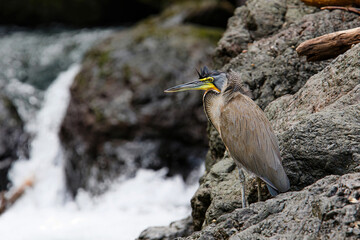 bare-throated tiger heron (Tigrisoma mexicanum) fishing in corcovado National Park in Costa Rica