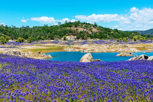 Wildflower Lupines Super Bloom Purple Fields On The Scenic Shore Of Drained Folsom Lake, California