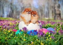 Two Pomeranian Dogs In The Giant Easter Egg At The Spring Lawn