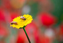 Close-up Of Two Insects On A Yellow Daisy With A Background Of Poppies And Daisies.