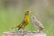 Male And Female Greenfinch Carduelis Chloris. Bird Feeder