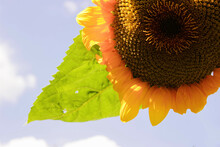 A Sunflower Bee Walks Around The Outer Edge Of The Green Disk Floret Of A Sunflower's Bright Yellow Bloom.