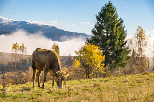 Farm cow grazing on alpine pasture meadow in summer mountains. - fototapety na wymiar