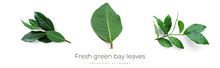 Fresh Green Bay Leaves Isolated On A White Background. Laurel Wreath.