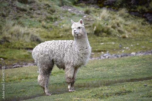 Fototapeta premium alpaca blanca ambiente natural en los andes
