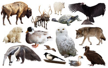 Set Of Various North American Wild Animals Including Birds And Mammals Isolated On White.