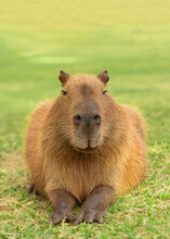 Smiling Capybara Lying On The Grass, At The Golden Hour Of The Sunset, Chilling.
