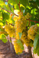 Closeup of bunches of ripe white grapes on vine in vineyard. Selective focus..