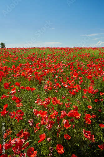 beautiful poppy flower field on a sunny summer day