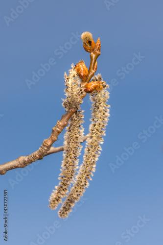 Fototapeta poplar buds against the sky