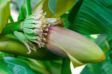 Banana Flower Stem