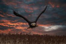 Beautiful Bald Eagle In Flight At Sunset Usa