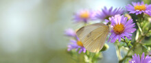 Beautiful White Butterfly On A Pink Flower In Garden With Copy Spice On The Right