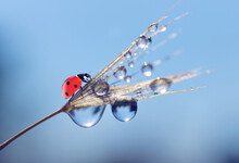 Water Drops And Ladybug On A Dandelion Seed Close Up. Nature Background.