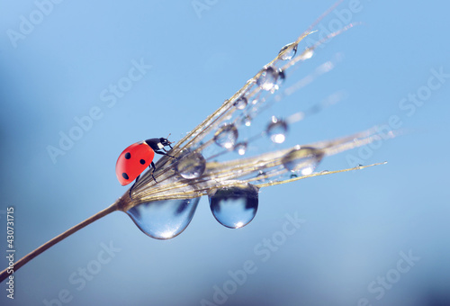 Obraz Water drops and ladybug on a dandelion seed close up. Nature background. - fototapety do salonu