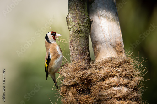 A European Goldfinch collecting material for nest - fototapety na wymiar