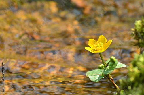 Obraz Wiosna roztopy kwiaty i mech  - fototapety do salonu