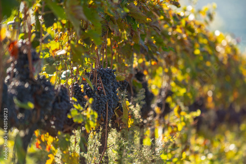 Fototapeta premium A grape field for wine. Vineyard hills. Autumn landscape with rows of vineyards. Tuscany, Italy.