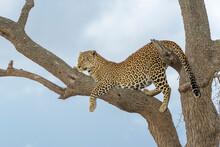 African Leopard (Panthera Pardus) Lying Down In Acacia Tree, Masai Mara, Kenya