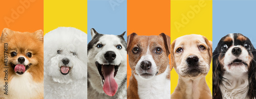 Art collage made of funny dogs different breeds on multicolored studio background. - fototapety na wymiar