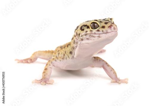 Fotografia Leopard Gecko