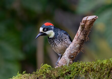 Acorn Woodpecker (Melanerpes Formicivorus) Perched On A Branch In The Jungles Of Costa Rica.