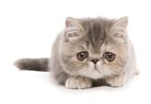 Silver Tabby Exotic Shorthair Kitten