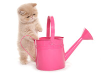 Exotic Kitten With Pink Watering Can