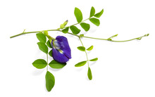 Blue Butterfly Pea, Green Leaf, Known As Bluebell Vine Or Asian Pigeon Wings