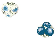 A Pair Of White And Blue Roses