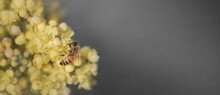 Bee On Yellow Flower Over Gray Background