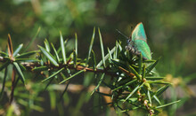 Tranquil Springtime Scene With Green Hairstreak Butterfly In A Evergreen Forest On A Juniper Bush, Tirol, Austria