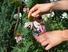 Growing Echinacea Purpurea, Purple Coneflower. A Gardener Is Cutting A Herbal Plant's Head, Purple Coneflowers For Echinacea Herbal Tea To Boost Immunity.