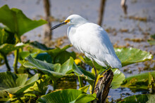 Beautiful Snowy Egret Fishing In The River Pond