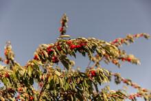 Cerisier Sur Fond De Ciel