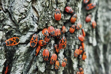 Red Soldier Bugs In Forest
