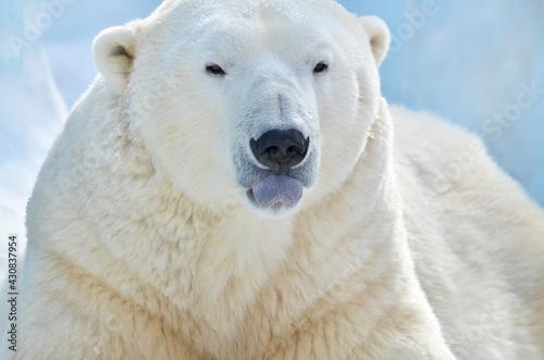 Fotografie, Obraz polar bear in the snow
