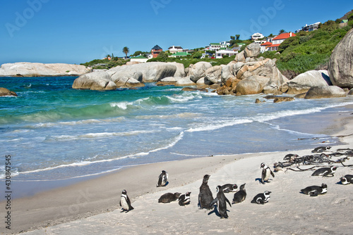 Canvas-taulu Colony of African penguins on the beach, Boulders national Park, South Africa
