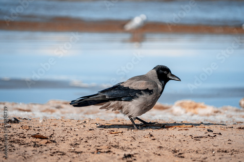 Fototapeta premium black-and-gray raven stands on a sandy shore. sea in the background