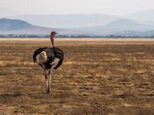 Ostrich In A Beautiful Landscape In Serengeti National Park During A Safari In Tanzania