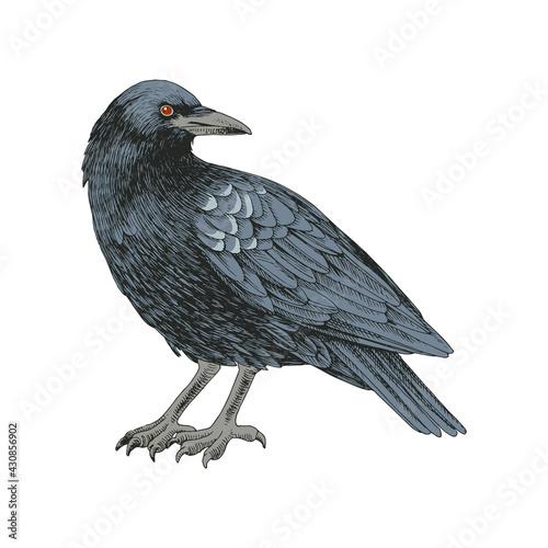 Fototapeta premium Graphic black crow isolated on white background.